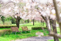 April in Japan, a sunny daytime park, two benches surrounded by cherry blossoms