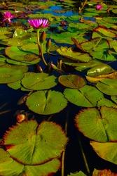 Aquatic Lotus leaves in a water fountain. Aquatic vegetation