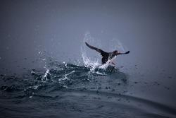 Arctic bird taking off
