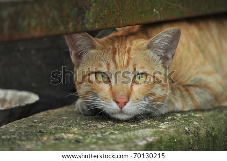 Asia Cat