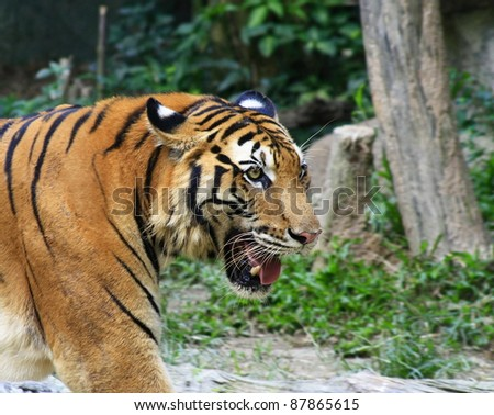 Asia tiger