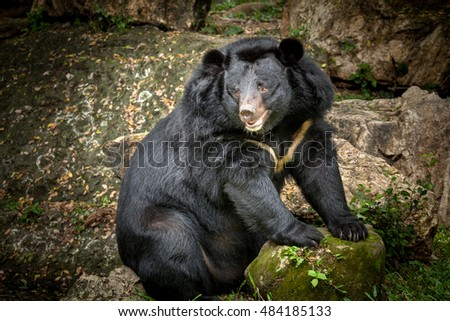 Asian black bear #484185133