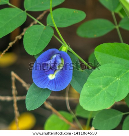 Asian pigeonwings, Clitoria ternatea, bluebellvine, blue pea, butterfly pea, cordofan pea and Darwin pea.