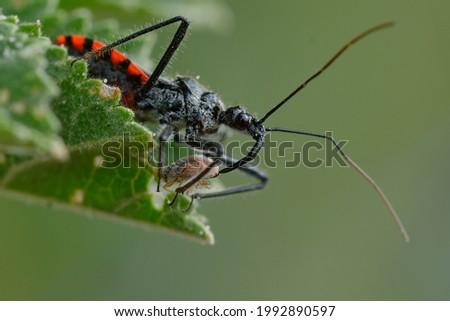 Assassin bug (Sphedanolestes sanguineus) on a leaf, eating a coleoptera