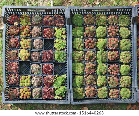 At a   traditional   autumn fair farmer sells decorative succulent plants for decorating graves in a cemetery