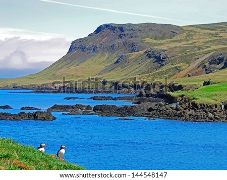Atlantic puffins in  the eastern fjords of iceland