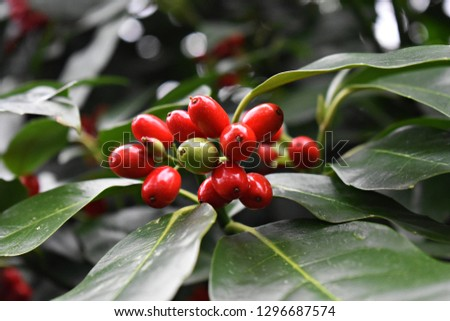 Aucuba Japonica. Japanese Laurel Dentata, commonly called spotted laurel, Japanese laurel, Japanese aucuba or gold dust plant. Family:  Garryaceae   Foliage and red berries in winter.  #1296687574