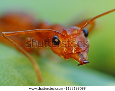 """Aug 17th 2017: Ant in action in the wild around Saigon city, Vietnam. People call this insect """"Fire Ant"""" because of their red color.  #1158199099"""