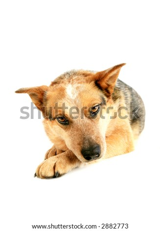 Australian Cattle dog looking cute isolated - stock photo