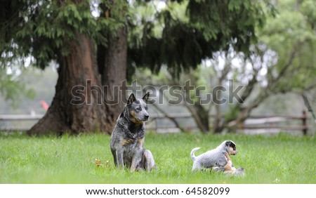 AUSTRALIAN CATTLE DOGS ;  a hardy and hard-working breed, part dingo and part Smithfield herder.  bitch and pups