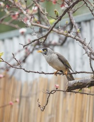 Australian noisy miner bird perched on a blossom tree in front of a bamboo fence in Adelaide, South Australia