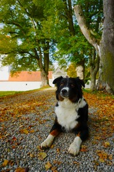 Australian Shepherd Black Tri - Aussie Dog