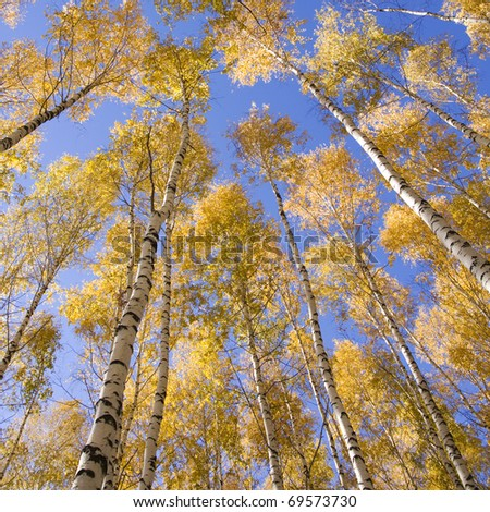 Autumn landscape forest yellow aspen trees birches