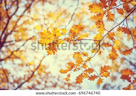 Autumn oak leafes, very shallow focus. Nature background with yellow foliage. #696746740