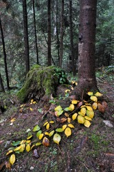 Autumn Tale drowsy old forest with moss, trees, bushes and mushrooms