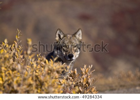 """Autumn Wolf"" - Imagine my surprise when this beautiful gray wolf popped its head up from behind an autumn colored bush in Denali National Park, Alaska."