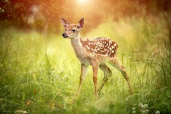 baby deer Bambi in the grass in summer on a Sunny day selective focus