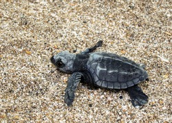 Baby Oliver Ridley Sea Turtle hatchling on the sand beach. Commonly known as Pacific ridley sea turtle
