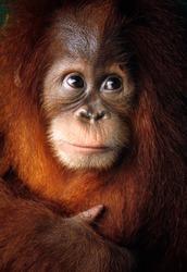 Baby orangutan close up detailed face