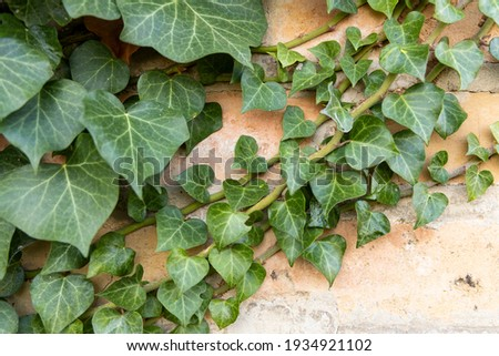 Background formed by ivy on the wall. A carpet of ivy is clinging to the wall, macro photography shows details of ivy leaves and the brick wall. Foto stock ©