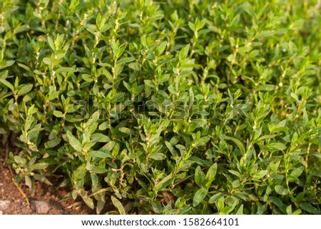 background of low shoots of grass knotweed(Polygonum aviculare) outdoors