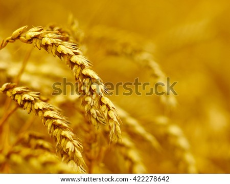 Background of ripening ears of wheat.  #422278642