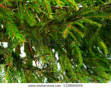 Background of spruce green branches.  Fir branches #1338860696
