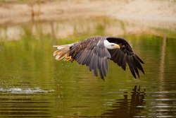 bald eagle / American eagle adult (Haliaeetus leucocephalus) catching a prey out of the water