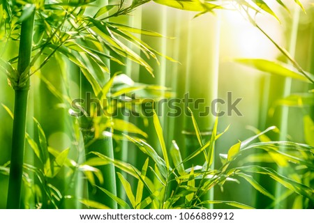 Bamboo forest in the morning #1066889912