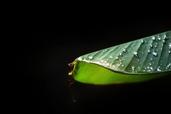 Banana leaves after rain. Start to have sunshine. There is still a drop of water in the leaves. The background is black and there is a copy space.