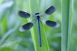 Banded Demoiselle in grean meadow