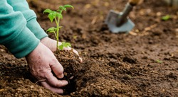 Banner.Close-up. Hands of an elderly woman holding the soil with a young plant. Planting seedlings in the soil. There is a shoulder blade nearby.The concept of conservation of nature and agriculture.