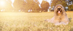 BANNER HAPPY DOG. PORTRAIT FURRY CATALAN SHEPHERED  SITTING ON GRASS IN THE SUMMER HEAT WITH TONGUE OUT.