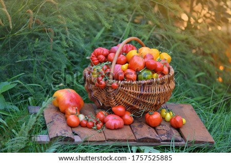 Basket full of tomatoes  near tomatoes  plants. Basket of freshly picked tomatoes. Red tomatoes in a basket. Rural or rustic style.