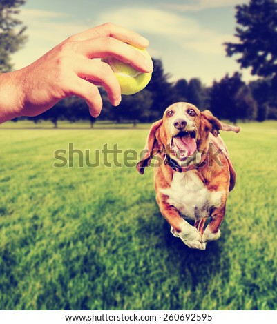 basset hound running to try and catch a tennis ball that is being thrown by a person toned with a retro vintage instagram filter