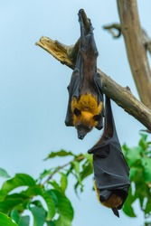 Bat haw Body with yellow hair Sleeping Under the tree photo by closeup