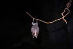 Bat sleeping in a cave