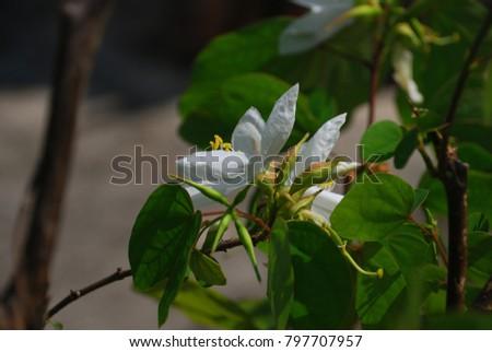 Bauhinia acuminata le bark is smooth single brown soft white bauhinia acuminata le bark is smooth single brown soft white hairs mightylinksfo