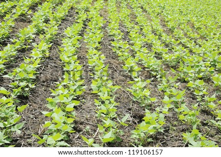 beans - the peanuts - groundnut - nut - pea - plant