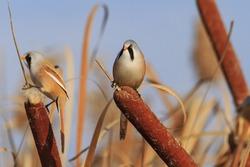 Bearded reedling couple of birds in cattail,orange