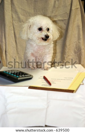 ,Beau a Bichon Frise conducts business at his desk at his office