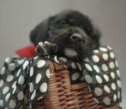 beautiful adopted puppy in a basket with gray background
