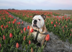 beautiful and colorful Dutch tulips fields in spring with a typical Dutch mill in the background. dog with a man on a field with tulips, english bulldog with flowers.