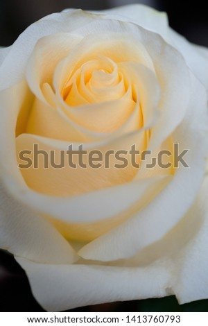 beautiful apricot color rose flower. floral background #1413760793
