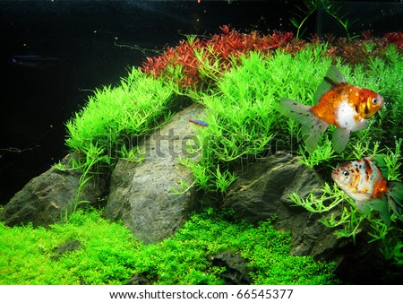 Beautiful Aquarium Fish Stock Photo 66545377 Shutterstock