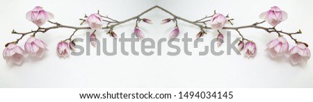 beautiful blooming magnolias isolated on magnolia branch white