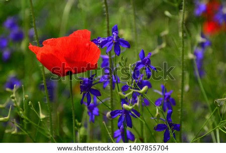Beautiful blooming poppy in summer.Nature flowers background.  Floral natural spring background, can be used as image for remembrance and reconciliation day.Lonely flower of poppy