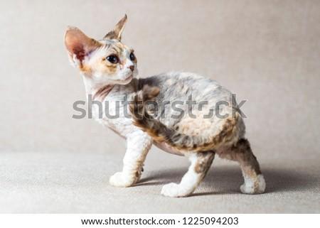 beautiful cute kitten breed Devon Rex sits on the couch Foto d'archivio ©