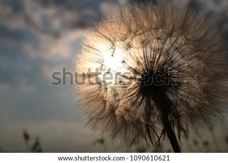 Beautiful Dandelion in springtime  #1090610621