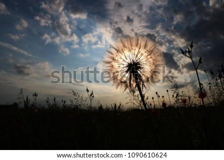 Beautiful Dandelion in springtime  #1090610624